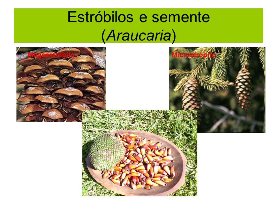 Estróbilos e semente (Araucaria)