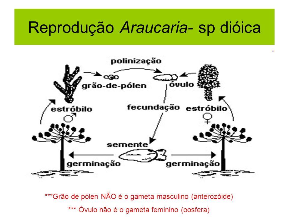 Reprodução Araucaria- sp dióica