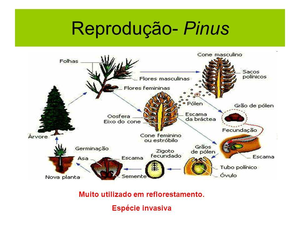 Muito utilizado em reflorestamento.