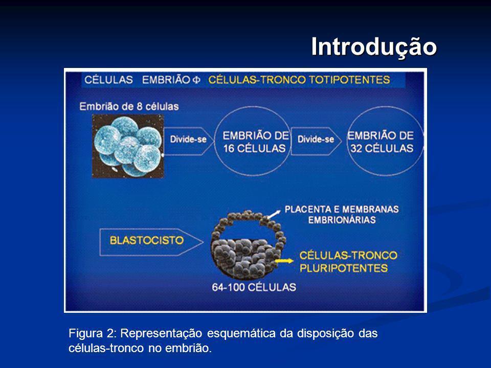 Introdução Figura 2: Representação esquemática da disposição das células-tronco no embrião.