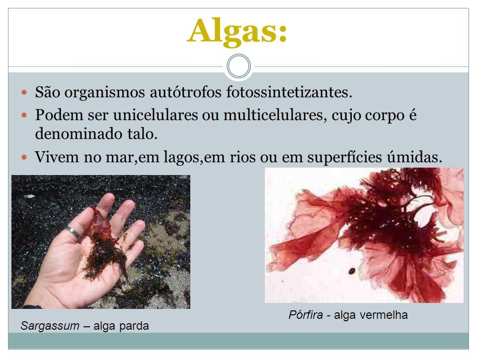 Algas: São organismos autótrofos fotossintetizantes.