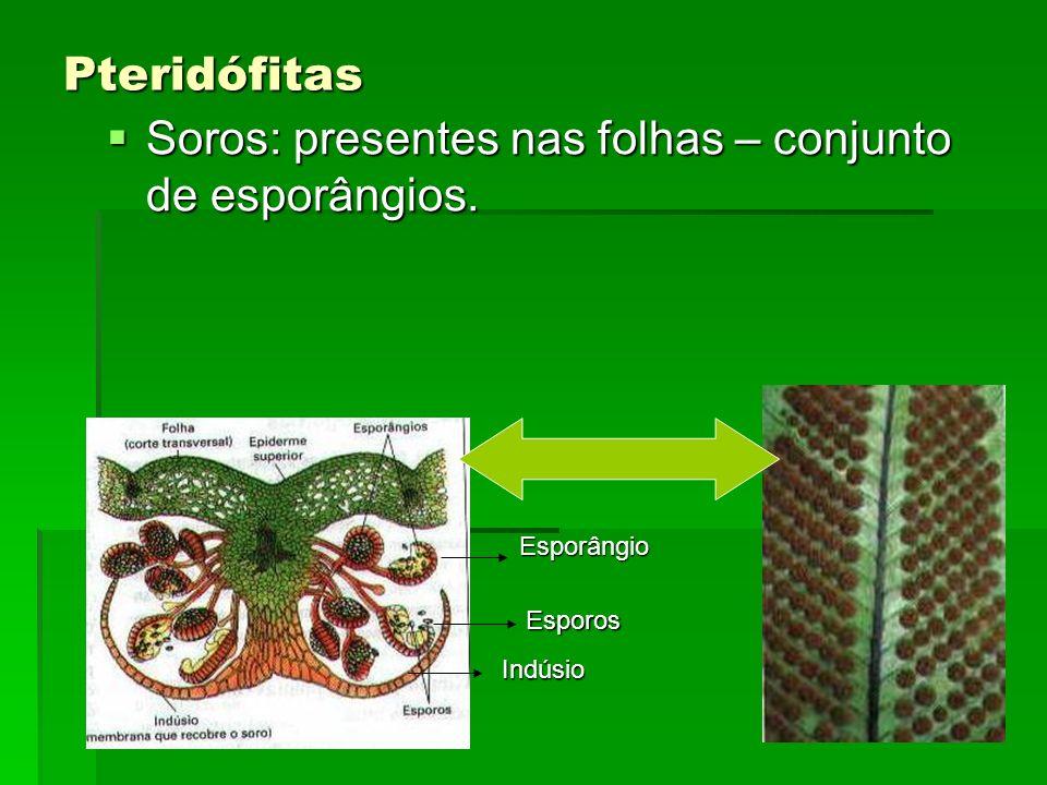 Soros: presentes nas folhas – conjunto de esporângios.