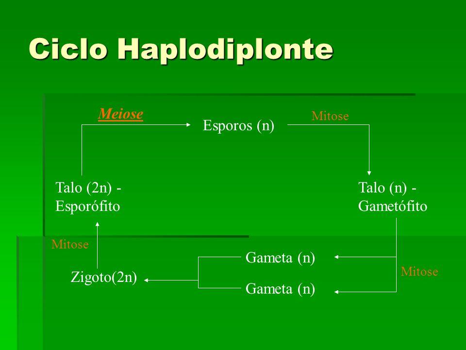 Ciclo Haplodiplonte Meiose Esporos (n) Talo (2n) - Esporófito