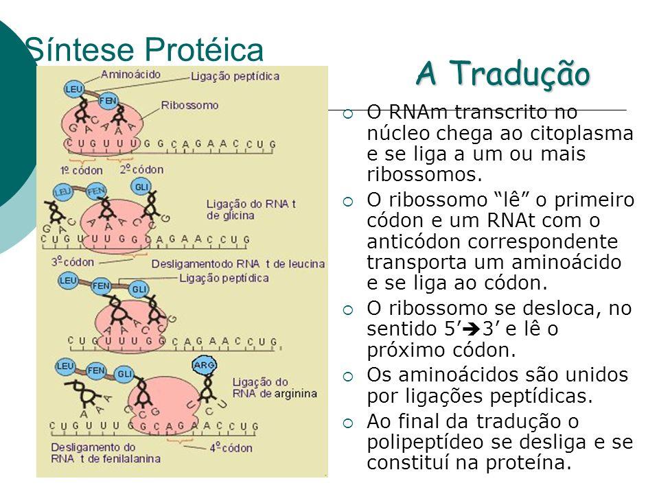 Síntese Protéica A Tradução