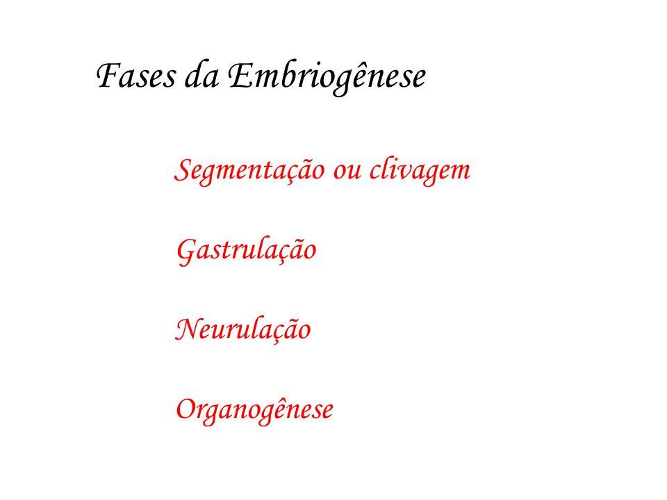 Fases da Embriogênese Segmentação ou clivagem Gastrulação Neurulação