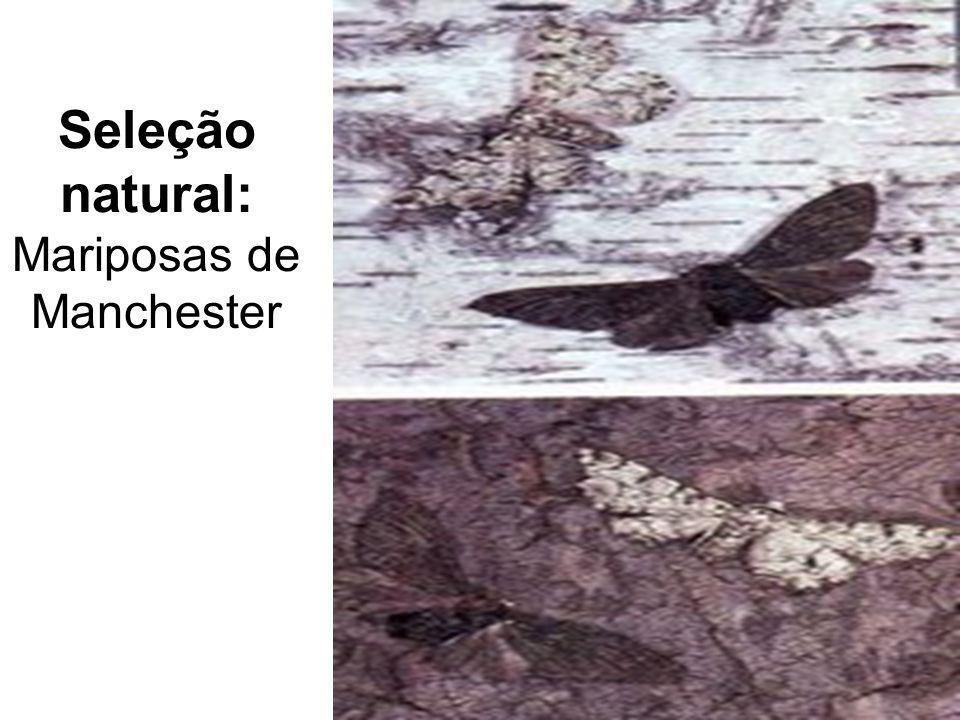 Seleção natural: Mariposas de Manchester