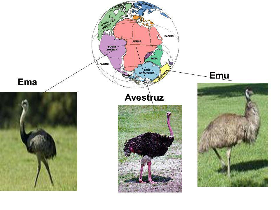 Emu Ema Avestruz