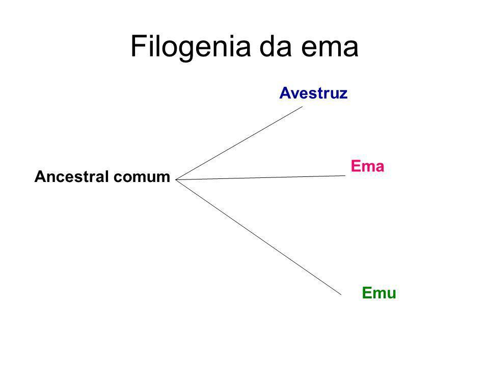 Filogenia da ema Avestruz Ema Ancestral comum Emu