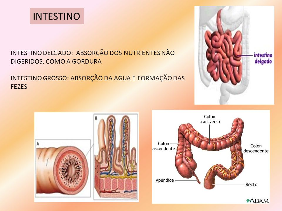 INTESTINO INTESTINO DELGADO: ABSORÇÃO DOS NUTRIENTES NÃO DIGERIDOS, COMO A GORDURA.