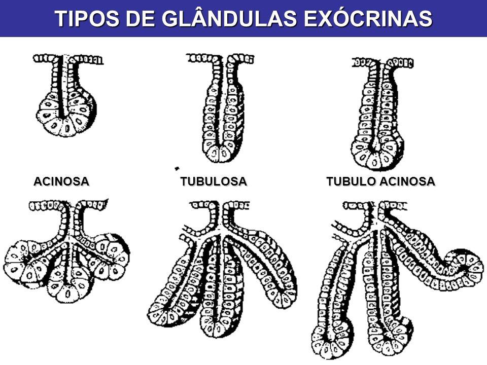 TIPOS DE GLÂNDULAS EXÓCRINAS