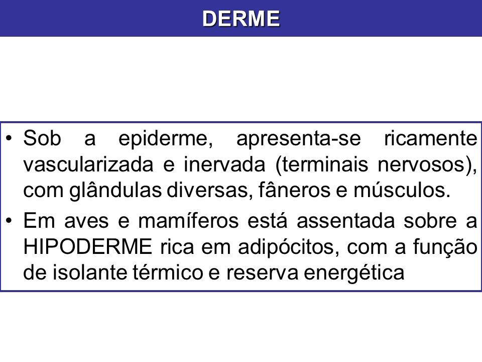 DERME Sob a epiderme, apresenta-se ricamente vascularizada e inervada (terminais nervosos), com glândulas diversas, fâneros e músculos.