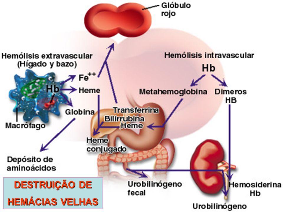 DESTRUIÇÃO DE HEMÁCIAS VELHAS