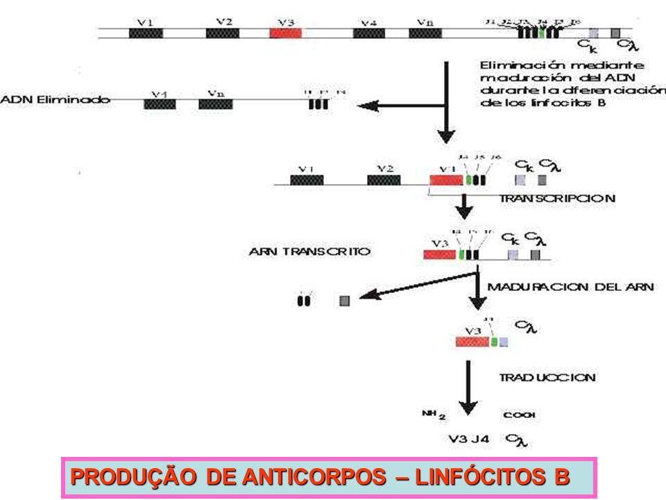 PRODUÇÃO DE ANTICORPOS – LINFÓCITOS B