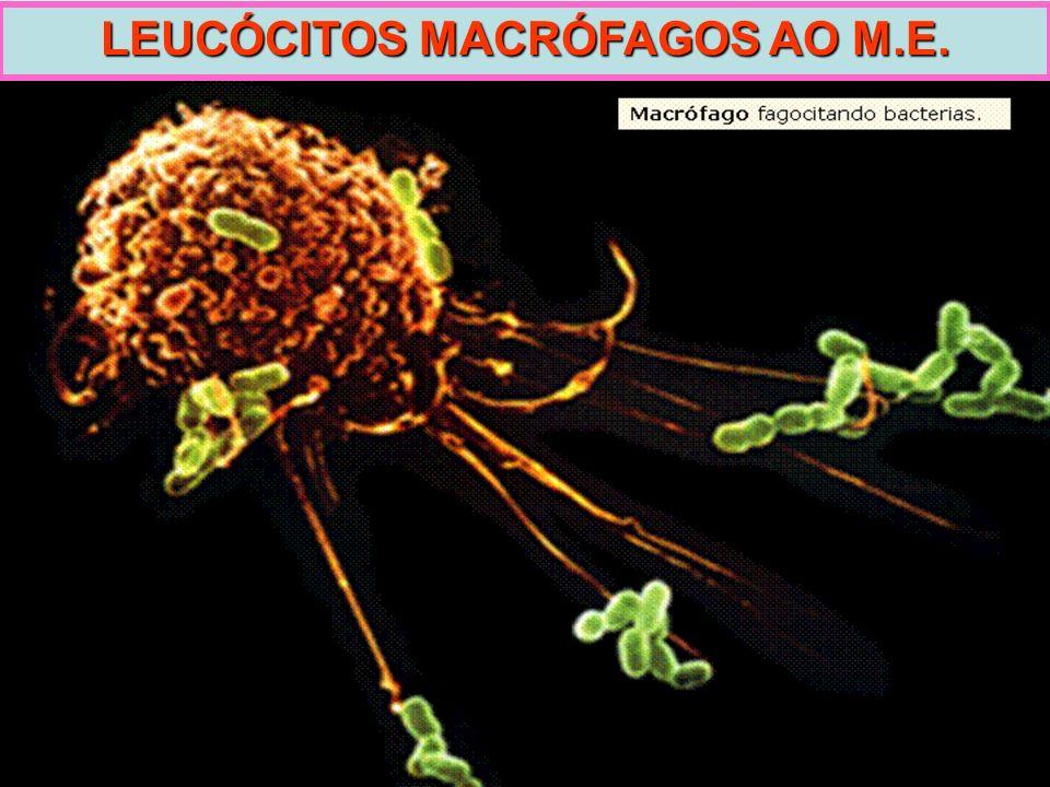 LEUCÓCITOS MACRÓFAGOS AO M.E.