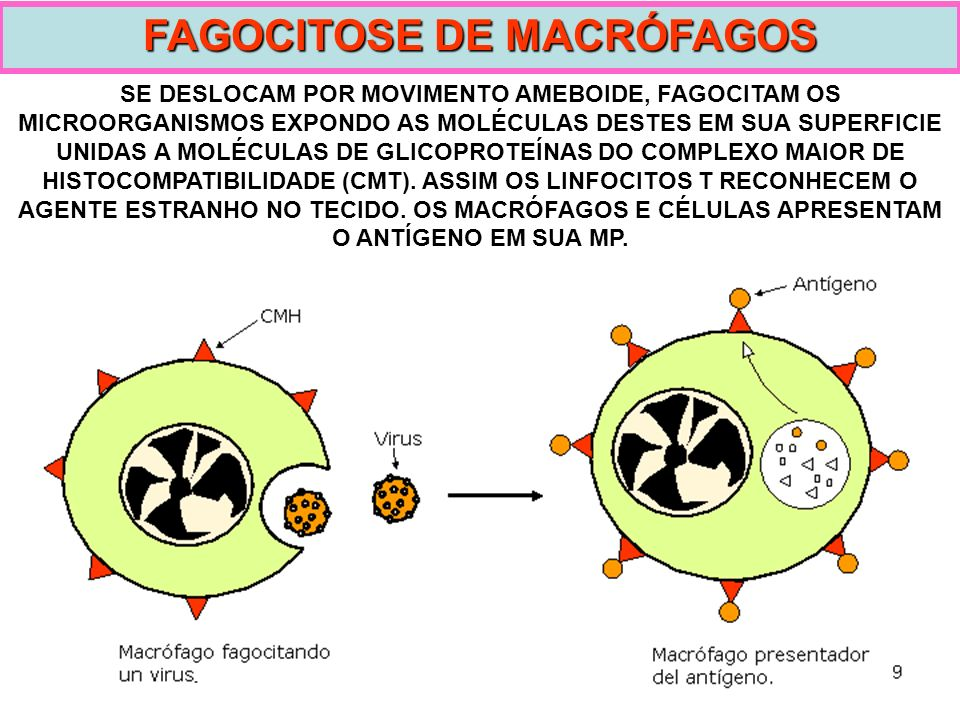 FAGOCITOSE DE MACRÓFAGOS