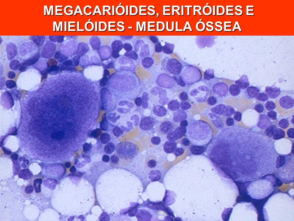 MEGACARIÓIDES, ERITRÓIDES E MIELÓIDES - MEDULA ÓSSEA