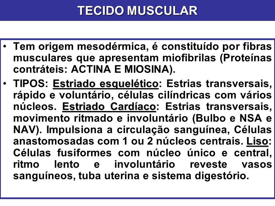 TECIDO MUSCULAR Tem origem mesodérmica, é constituído por fibras musculares que apresentam miofibrilas (Proteínas contráteis: ACTINA E MIOSINA).