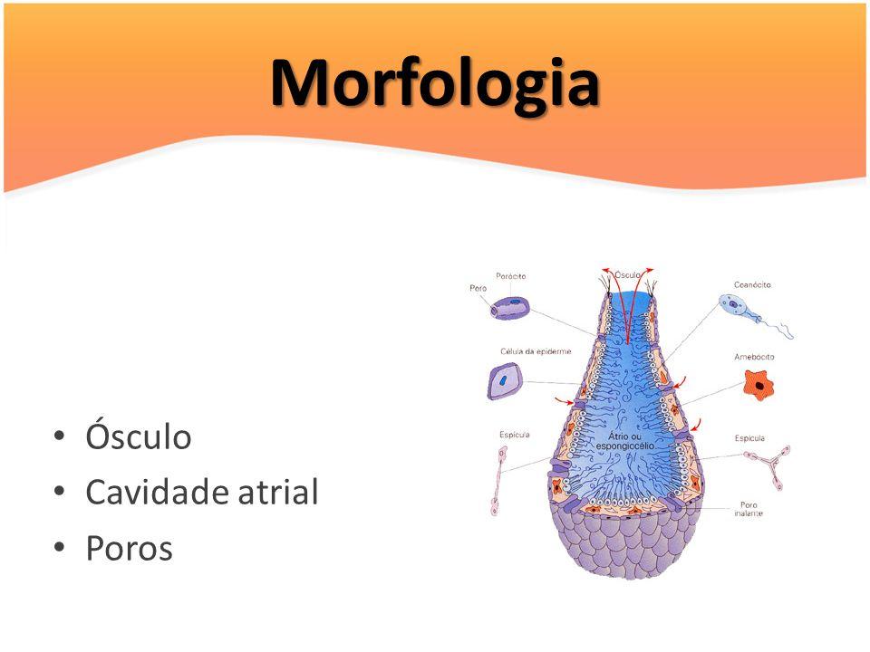 Morfologia Ósculo Cavidade atrial Poros