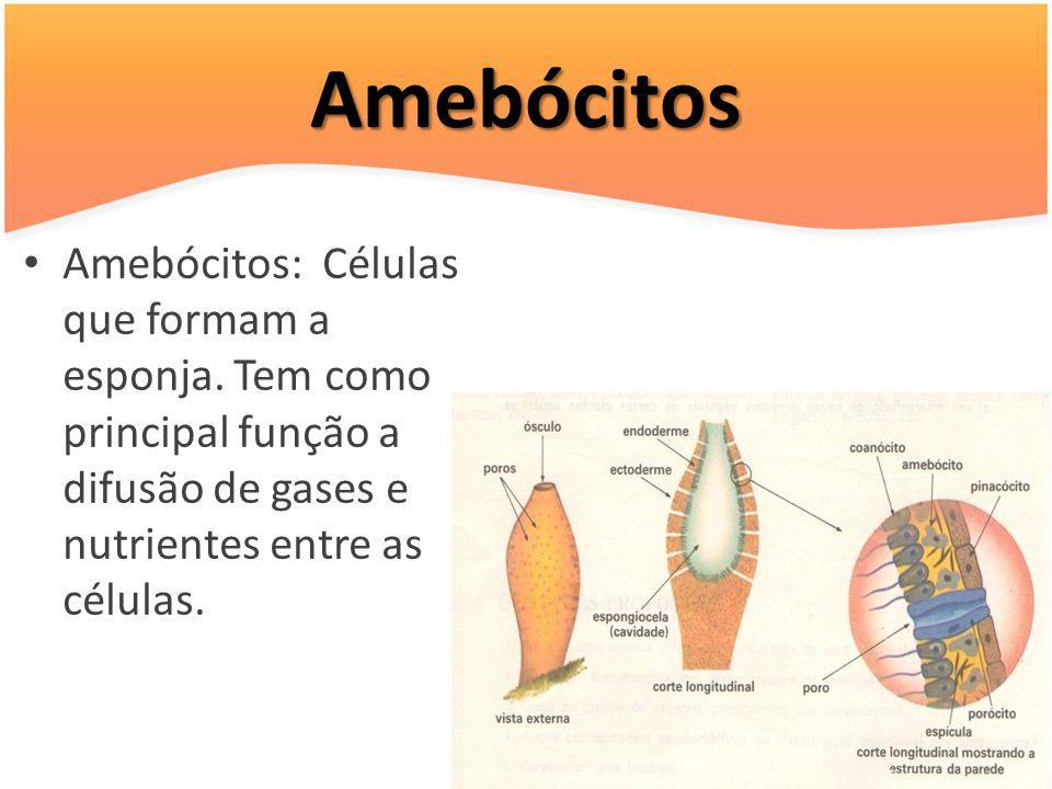 Amebócitos Amebócitos: Células que formam a esponja.