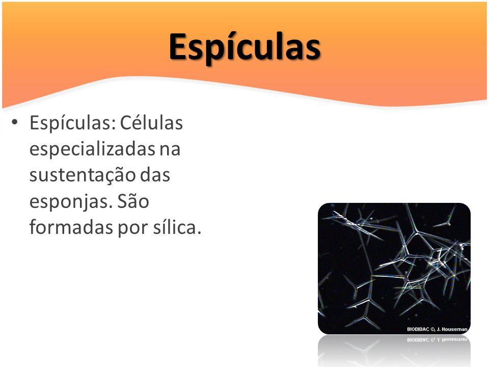 Espículas Espículas: Células especializadas na sustentação das esponjas. São formadas por sílica.