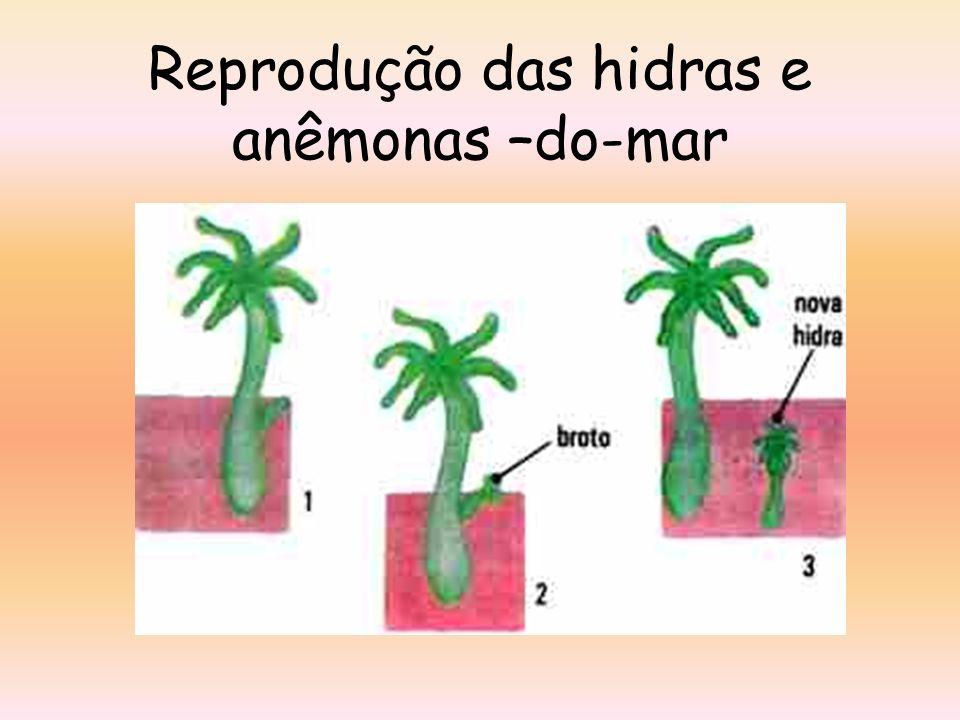Reprodução das hidras e anêmonas –do-mar