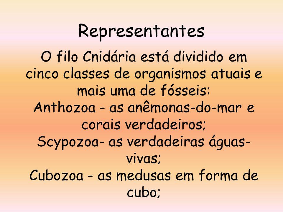 Representantes O filo Cnidária está dividido em cinco classes de organismos atuais e mais uma de fósseis: