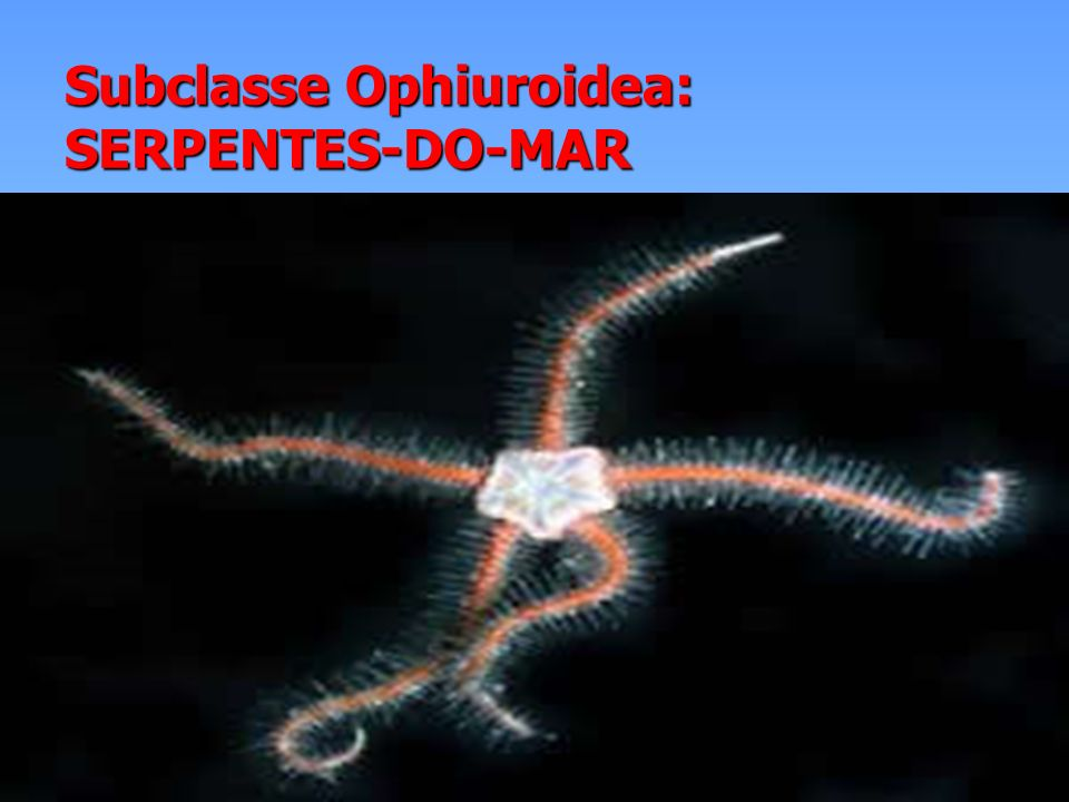 Subclasse Ophiuroidea: SERPENTES-DO-MAR