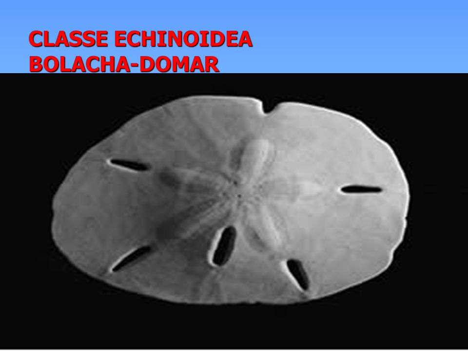CLASSE ECHINOIDEA BOLACHA-DOMAR