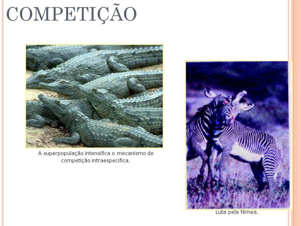 COMPETIÇÃO A superpopulação intensifica o mecanismo de competição intraespecífica. Luta pela fêmea.