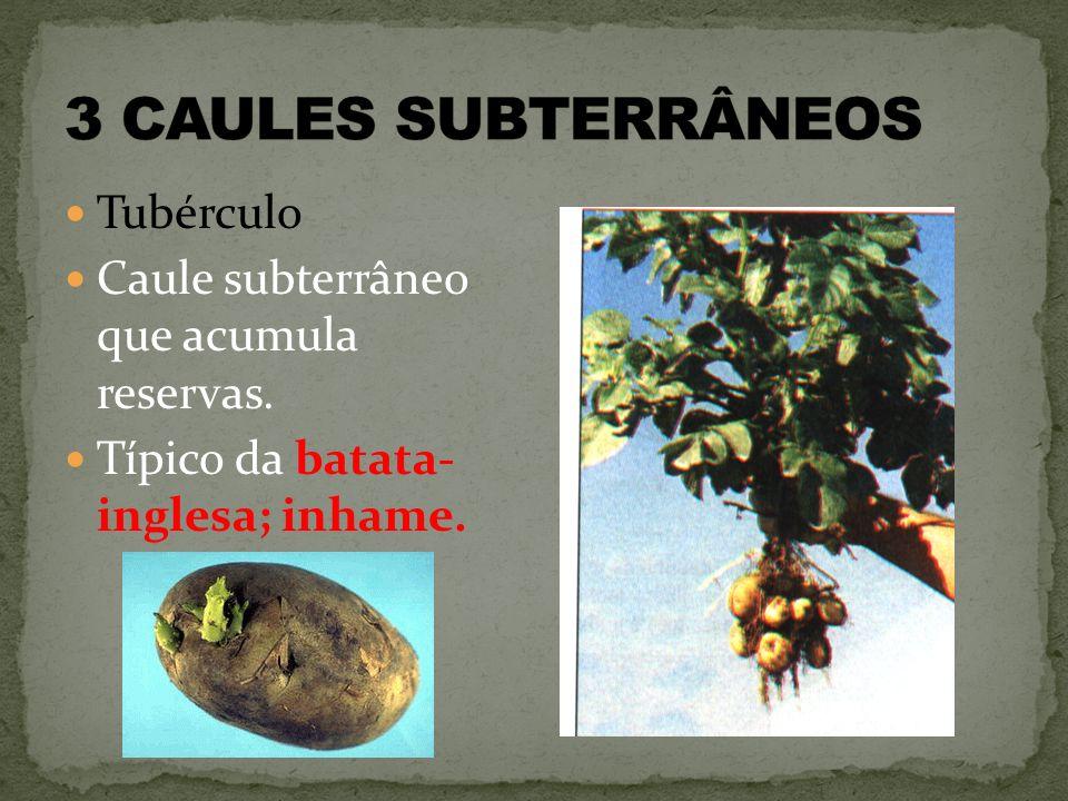 3 CAULES SUBTERRÂNEOS Tubérculo
