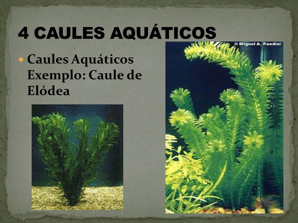 4 CAULES AQUÁTICOS Caules Aquáticos Exemplo: Caule de Elódea