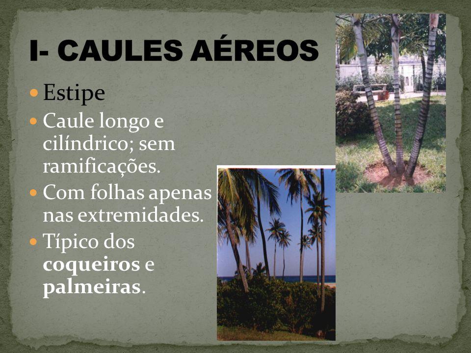 I- CAULES AÉREOS Estipe Caule longo e cilíndrico; sem ramificações.