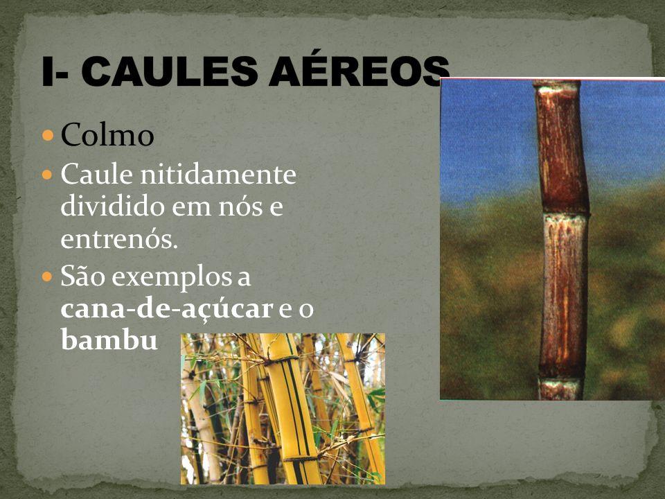 I- CAULES AÉREOS Colmo Caule nitidamente dividido em nós e entrenós.