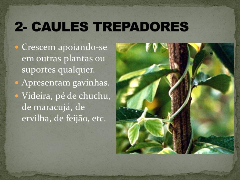 2- CAULES TREPADORES Crescem apoiando-se em outras plantas ou suportes qualquer. Apresentam gavinhas.