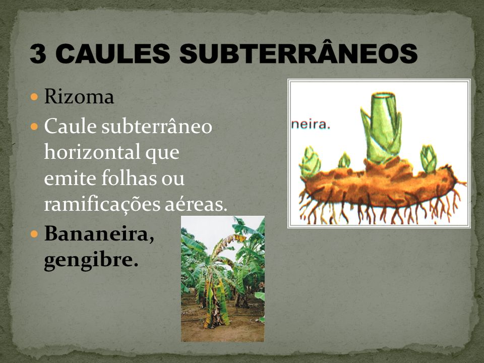 3 CAULES SUBTERRÂNEOS Rizoma