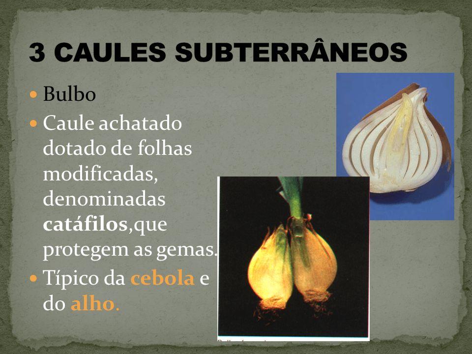 3 CAULES SUBTERRÂNEOS Bulbo