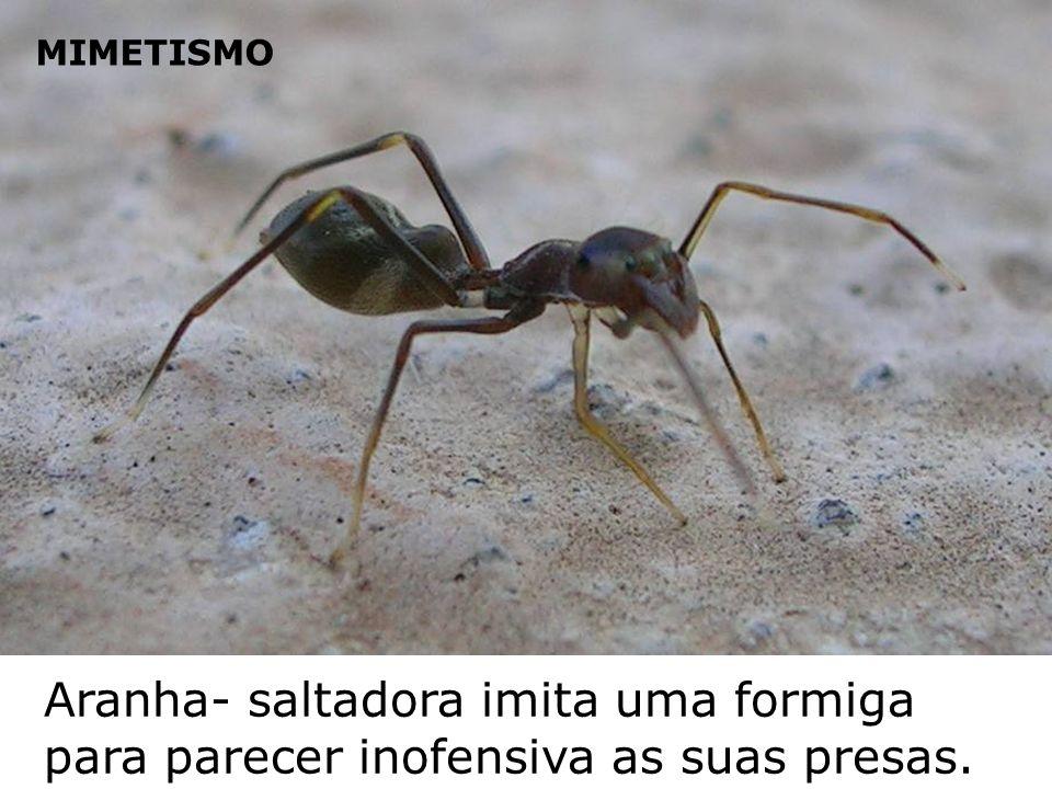 MIMETISMO Aranha- saltadora imita uma formiga para parecer inofensiva as suas presas.