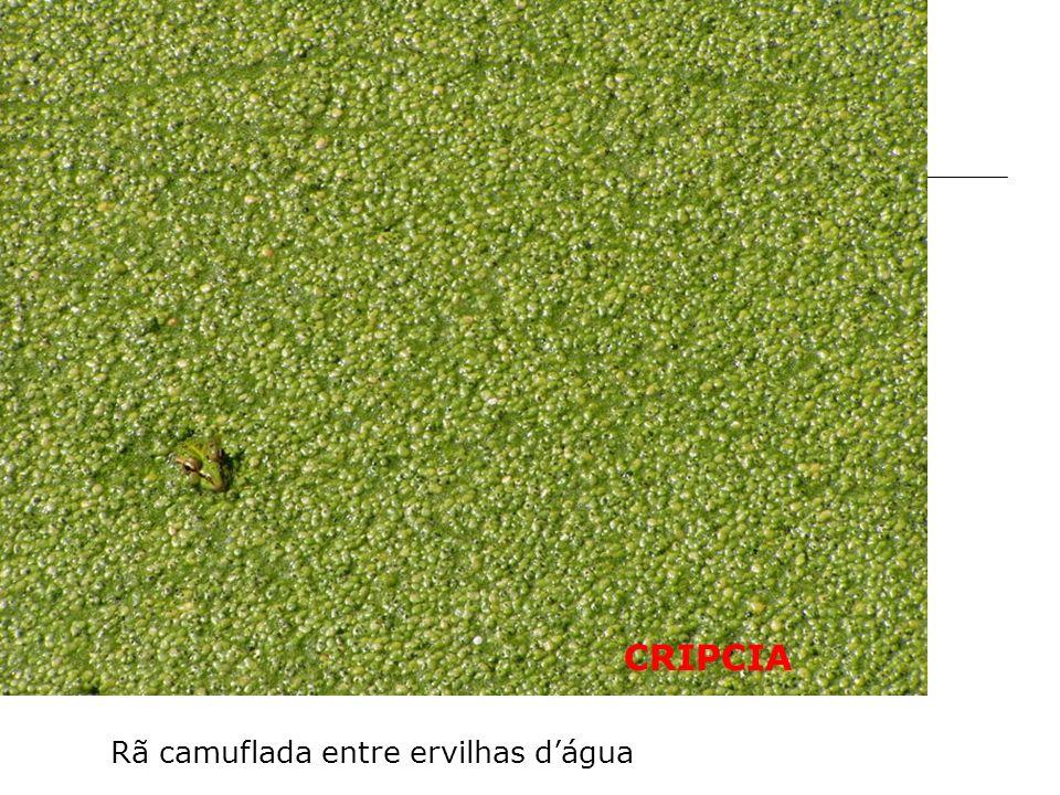 CRIPCIA Rã camuflada entre ervilhas d'água