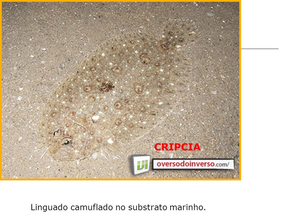 CRIPCIA Linguado camuflado no substrato marinho.