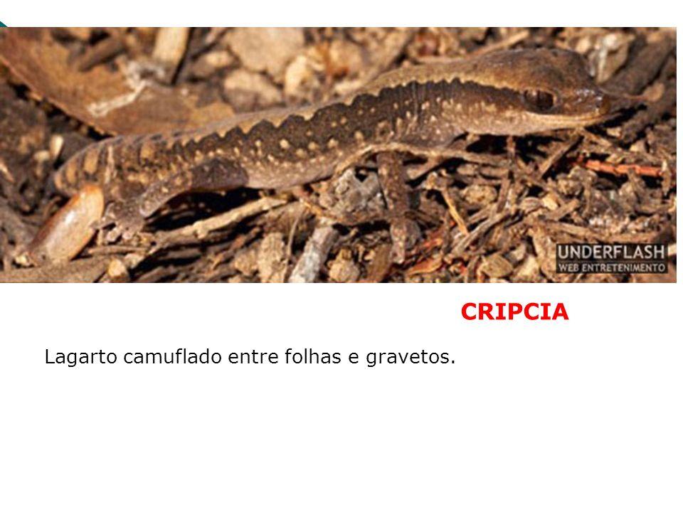 CRIPCIA Lagarto camuflado entre folhas e gravetos.