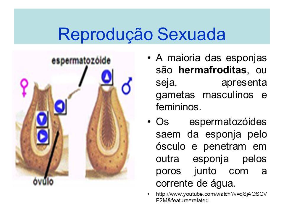 Reprodução Sexuada A maioria das esponjas são hermafroditas, ou seja, apresenta gametas masculinos e femininos.