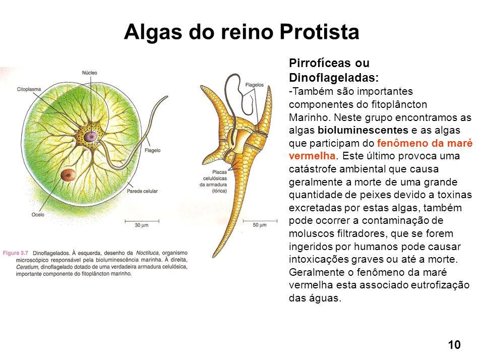 Algas do reino Protista