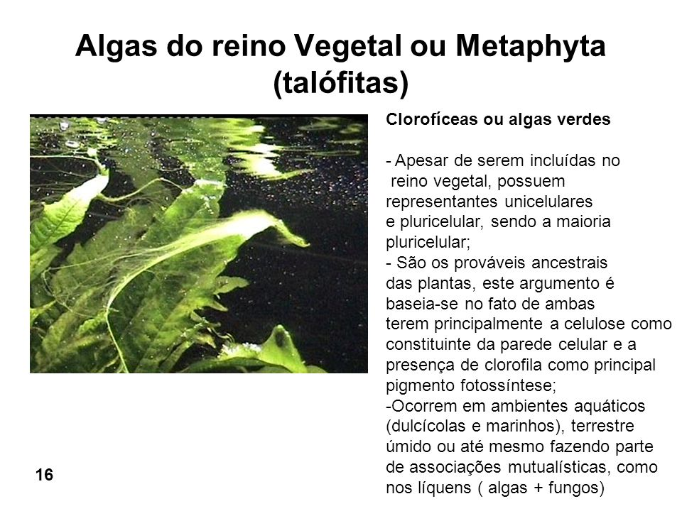Algas do reino Vegetal ou Metaphyta (talófitas)