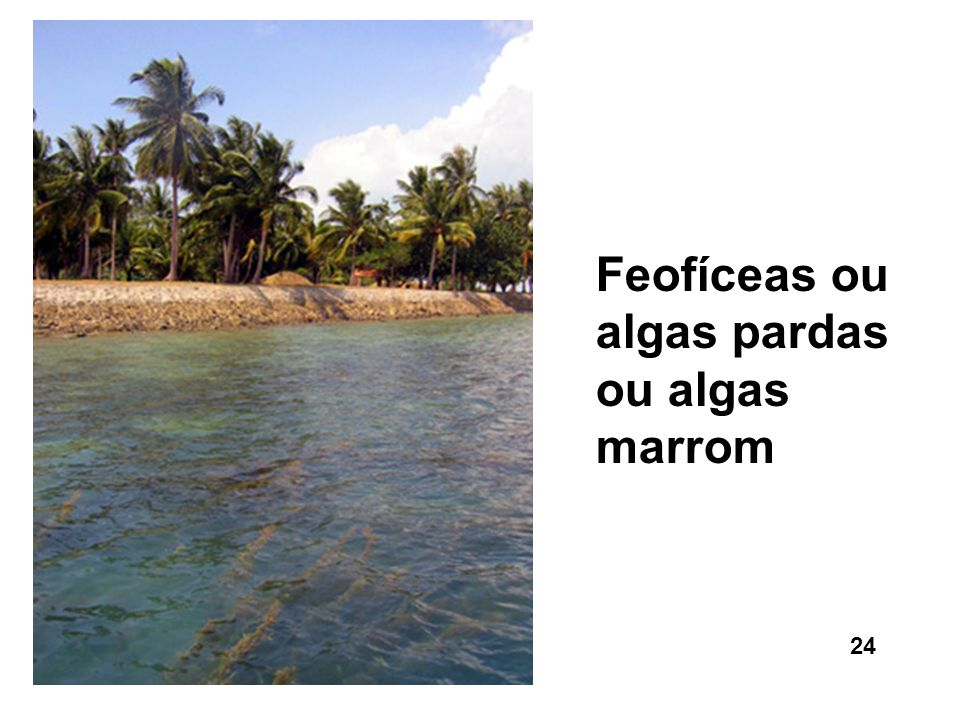 Feofíceas ou algas pardas ou algas marrom
