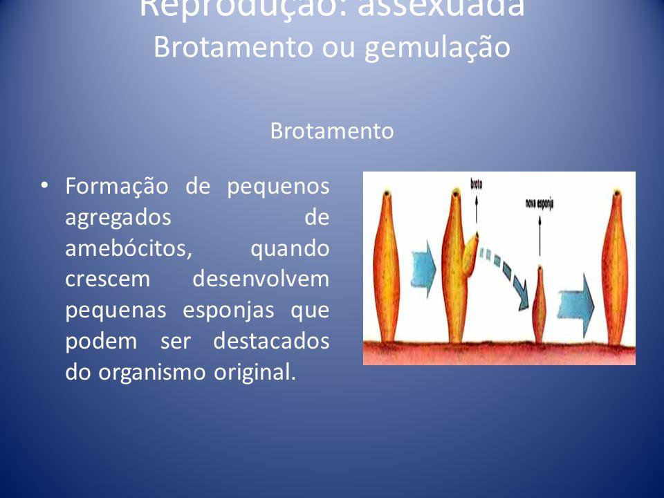 Reprodução: assexuada Brotamento ou gemulação Brotamento