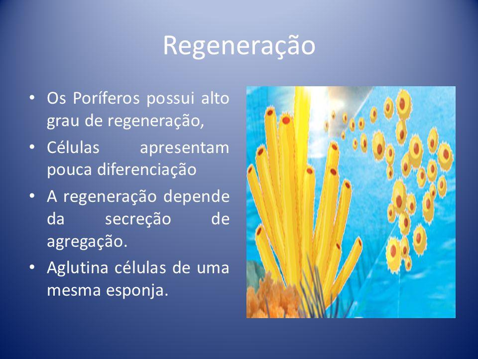 Regeneração Os Poríferos possui alto grau de regeneração,
