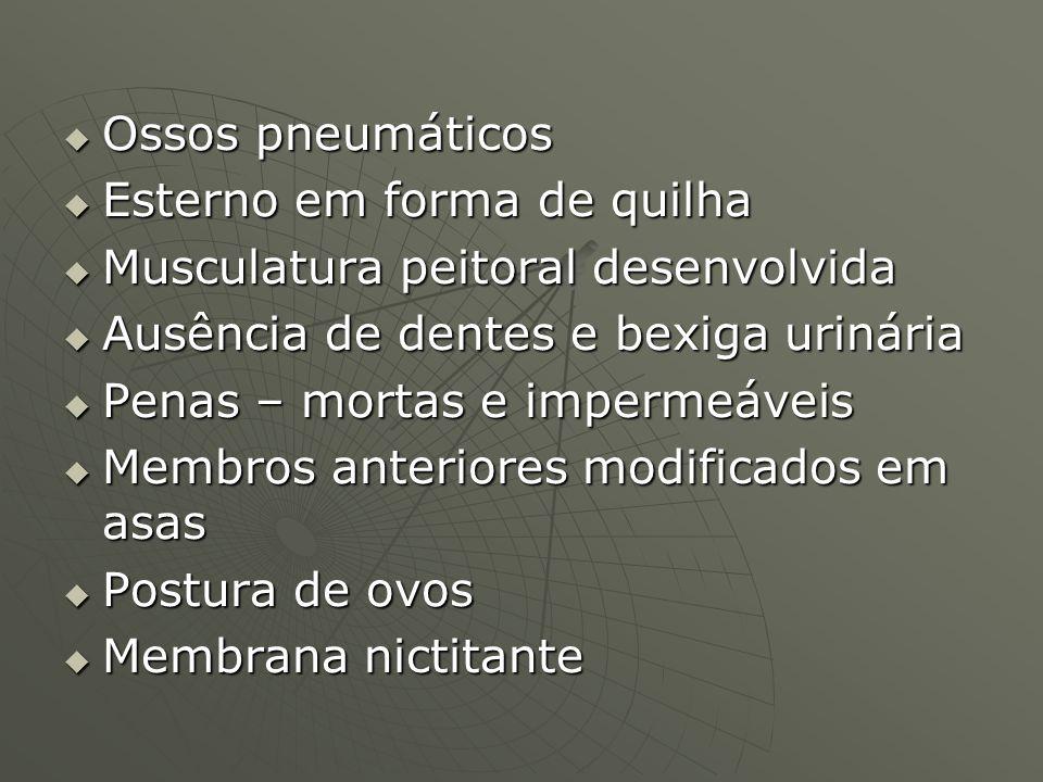 Ossos pneumáticosEsterno em forma de quilha. Musculatura peitoral desenvolvida. Ausência de dentes e bexiga urinária.