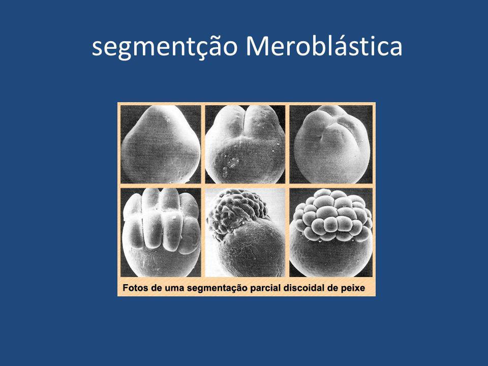 segmentção Meroblástica