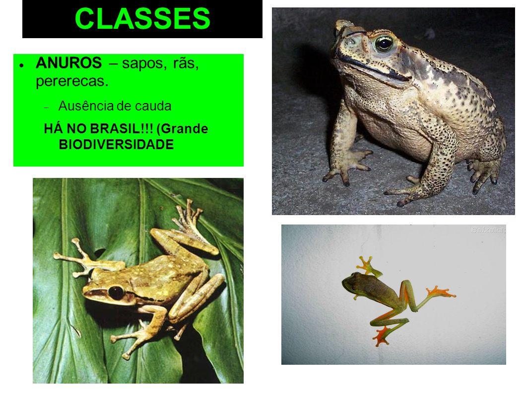 CLASSES ANUROS – sapos, rãs, pererecas. Ausência de cauda