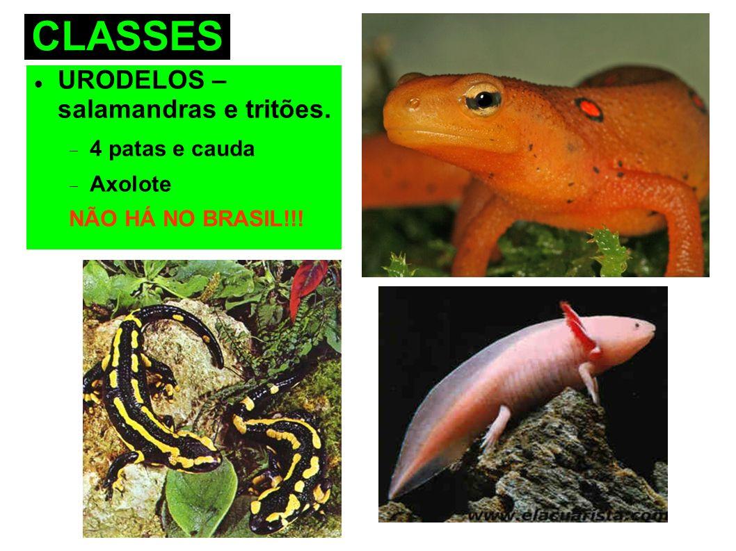 CLASSES URODELOS – salamandras e tritões. 4 patas e cauda Axolote